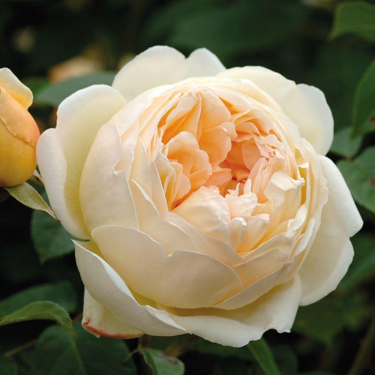 Розы дэвида остина самые зимостойкие