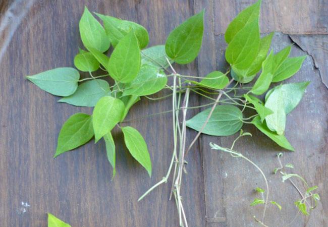 Размножение клематисов в летний период  пошаговая инструкция по черенкованию растения