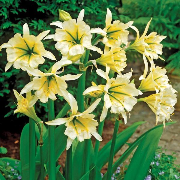 Гименокаллис 35 фото уход за цветком в домашних условиях виды карибский и фесталис краткое описание внешнего вида