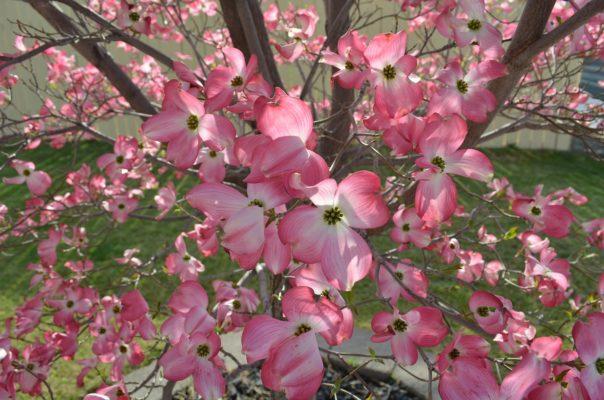 Кизил кустарник и кизильник — посадка и уход