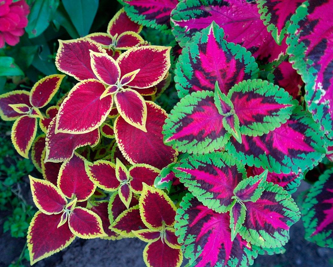 Комнатные цветы с декоративными листьями