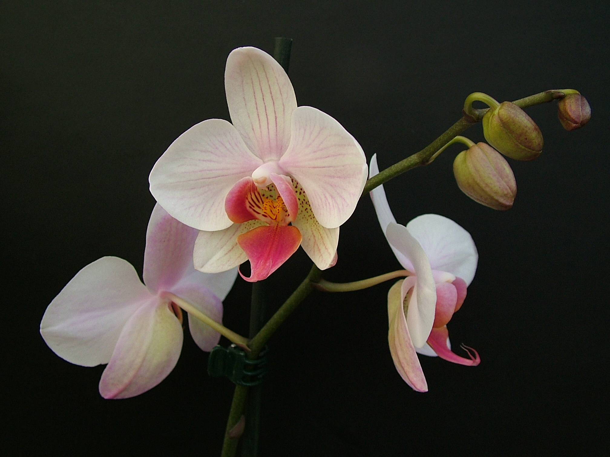 Можно ли держать дома орхидею — приметы и суеверия, где расположить фаленопсис в квартире по фен шую и можно ли выращивать