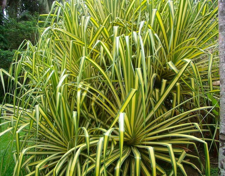 Пальма с тонкими длинными листьями