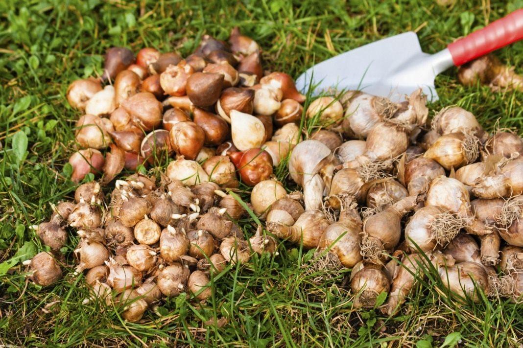 Как сохранить луковицы тюльпанов до весны в домашних условиях