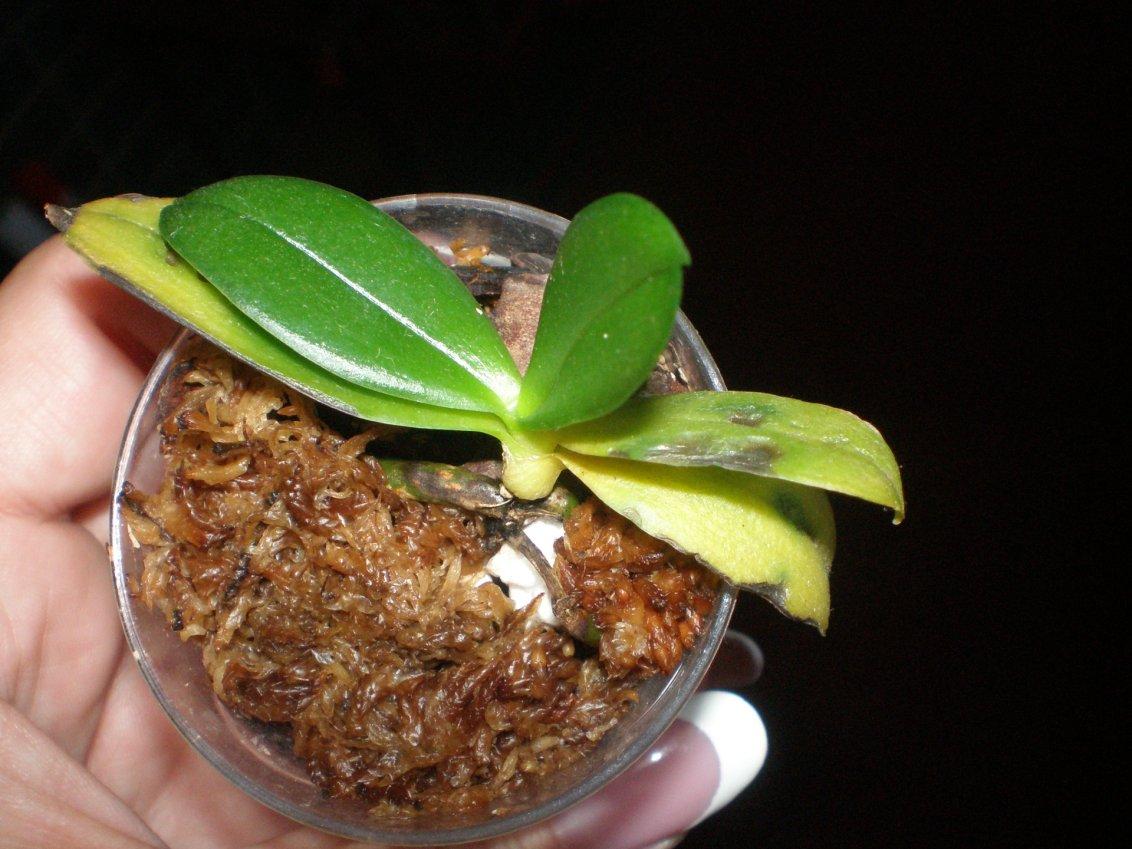 У орхидеи сохнут и гниют корни: советы и этапы как спасти растение своими руками (125 фото   видео)