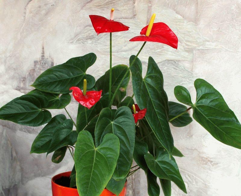 Цветок женское счастье как ухаживать сохнут листья