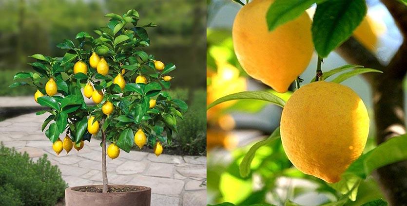 Комнатная культура лимона