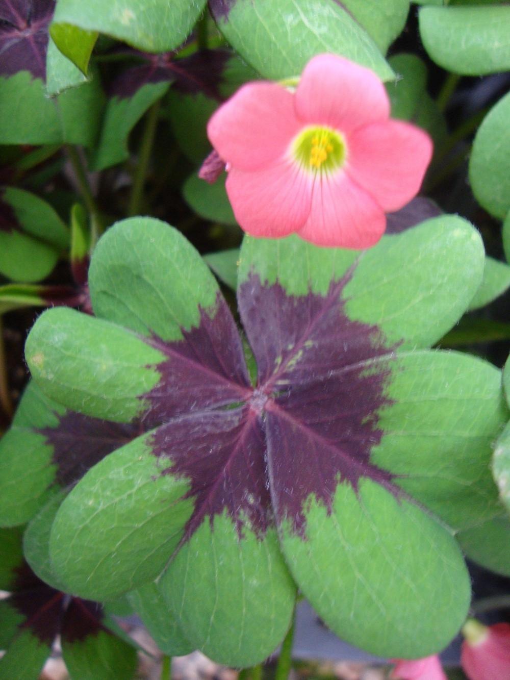 Цветок кислица: уход в домашних условиях и описание
