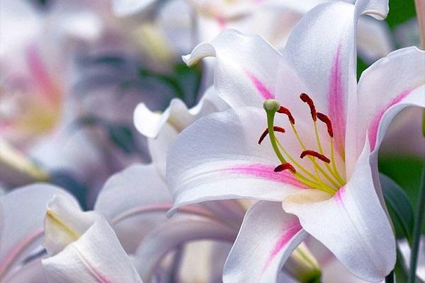 Форма листа лилии