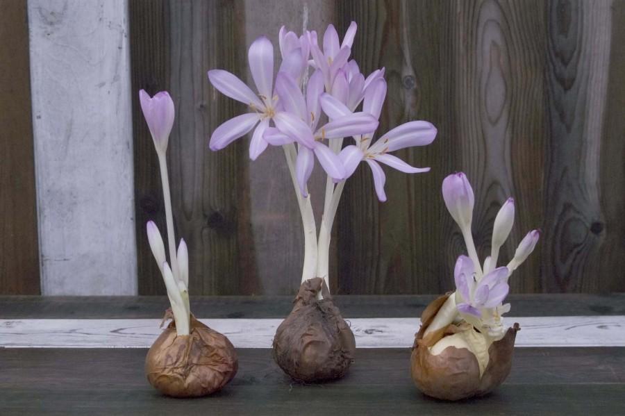 Цветок безвременник (фото) — посадка и уход » УДачные советы