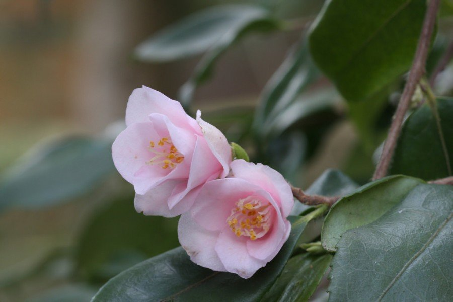 Цветок камелия, уход в домашних условиях