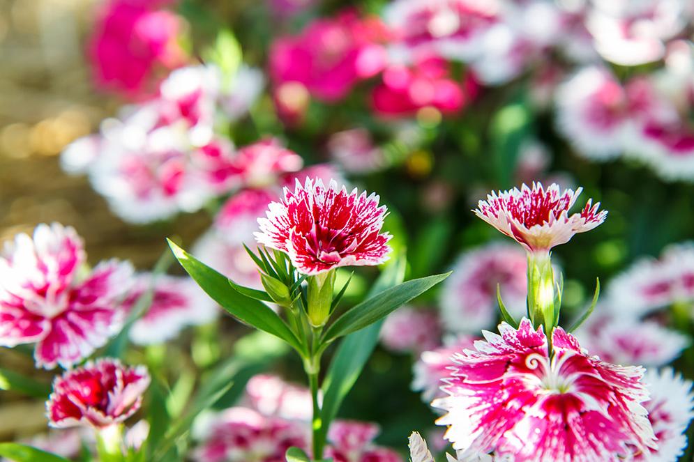 Гвоздика перистая садовая многолетняя посадка и уход