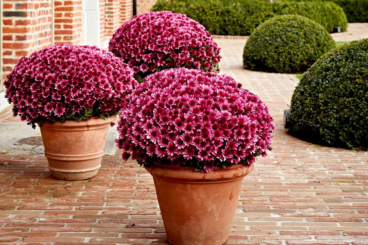 Хризантемы с – как выглядят листья садовых цветов? Как вырастить уличную хризантему? Описание болезней, композиции с розами в ландшафтном дизайне на даче