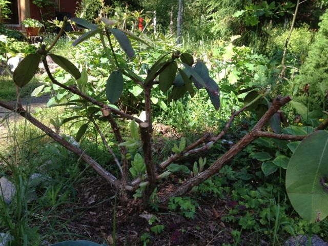 Рододендроны: посадка и уход в открытом грунте