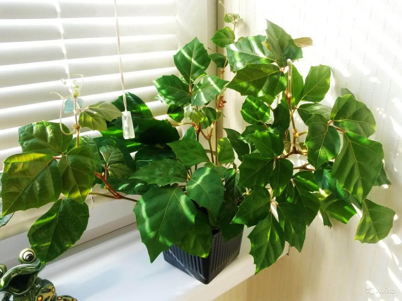 Вьюн березка комнатное растение