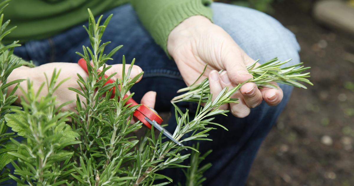 Розмарин выращивание в открытом грунте в ростовской области