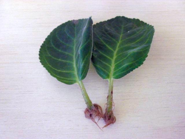Размножение глоксинии: листом, семенами, клубнями и не только ?