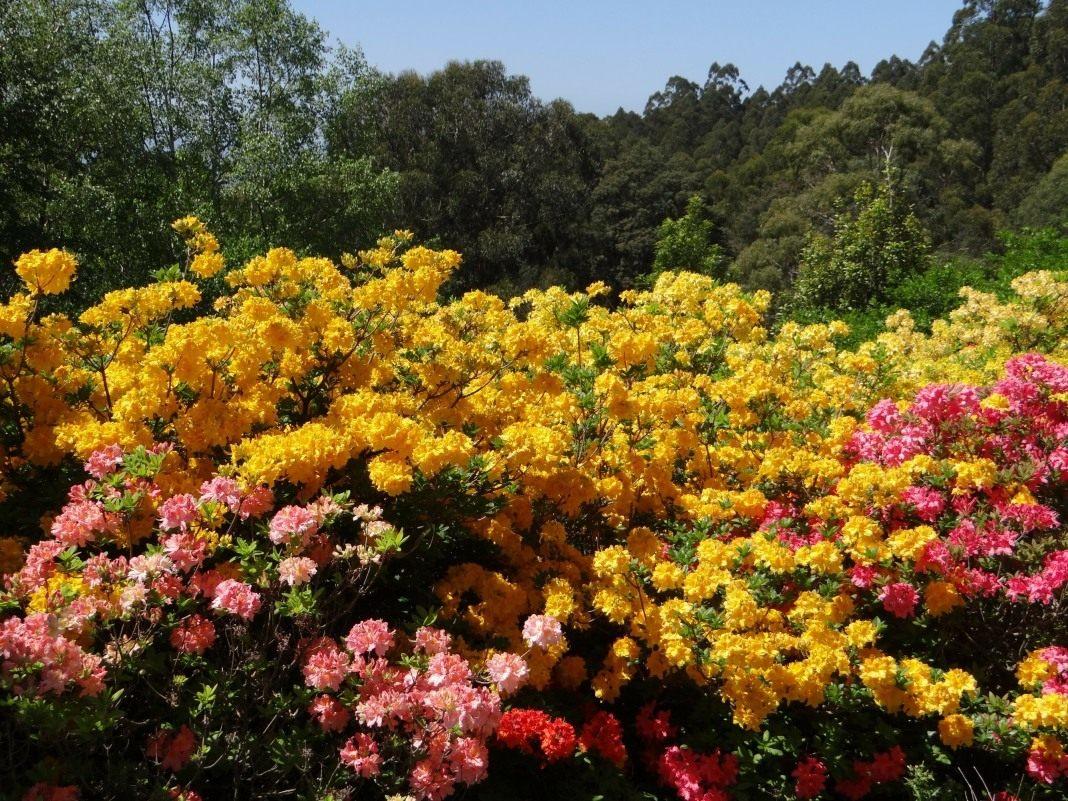 Дендроны цветы