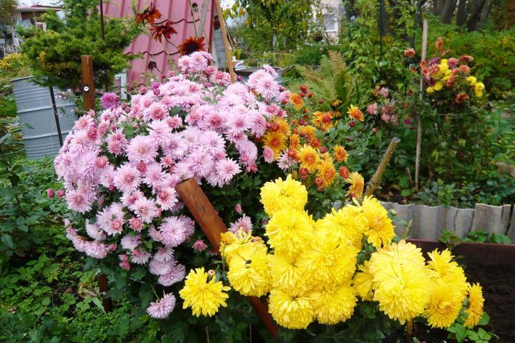 Уход и посадка хризантем