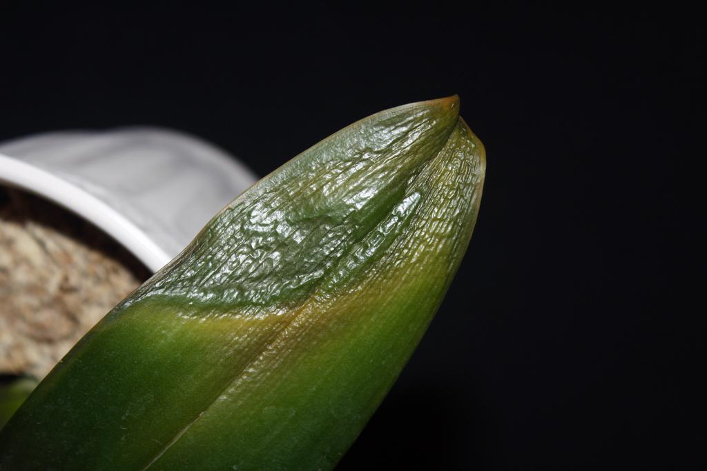 Почему желтеют листья у орхидеи фаленопсис и что делать с пожелтевшими листовыми нижними пластинами у основания?