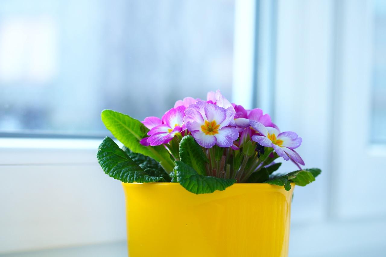Примула выращивание и уход в домашних условиях – Дачные дела