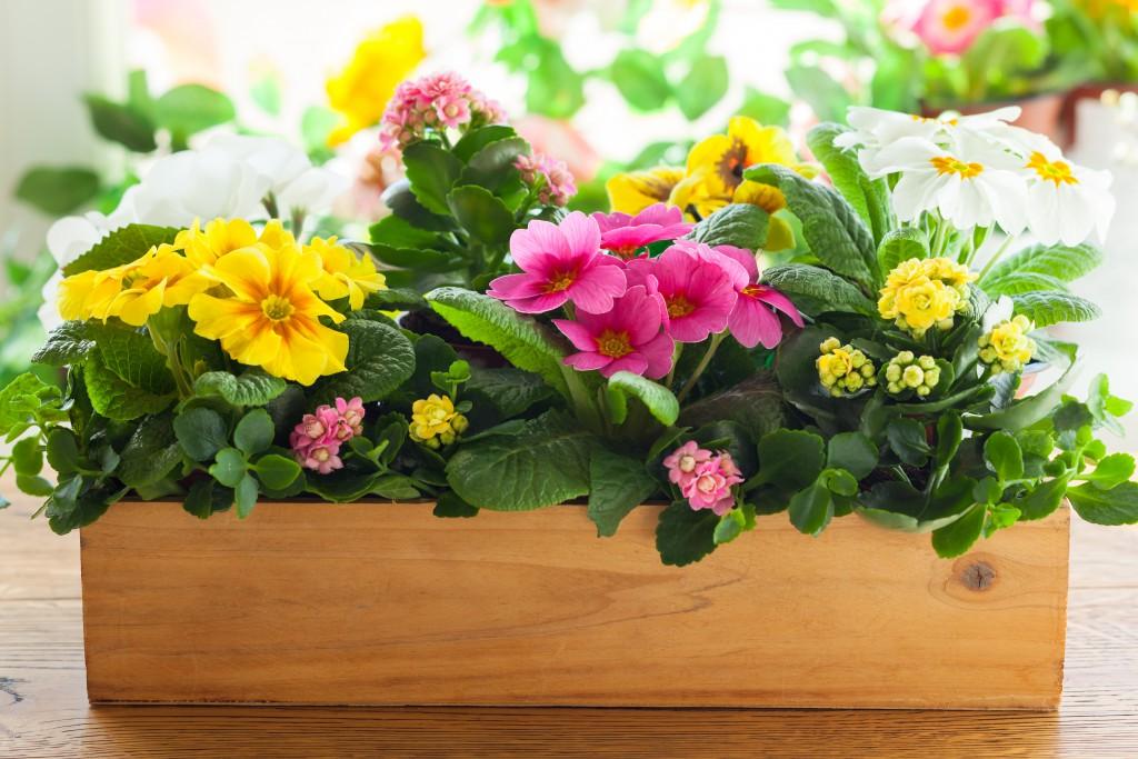 Когда рассаживать примулы весной или осенью