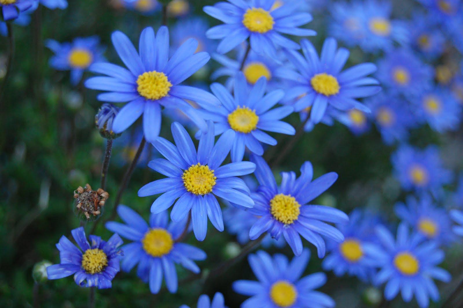 Каких цветов бывают ромашки