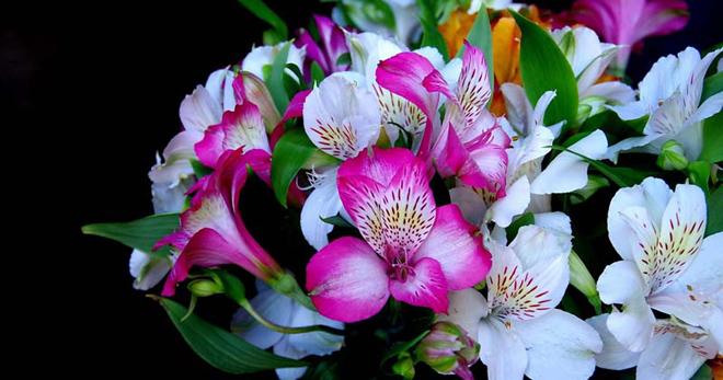 Цветы альстромерия посадка и уход