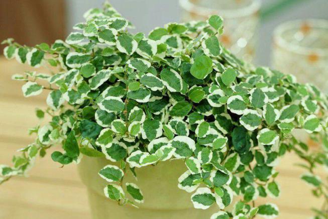 Вьющиеся комнатные растения и свисающие лианы