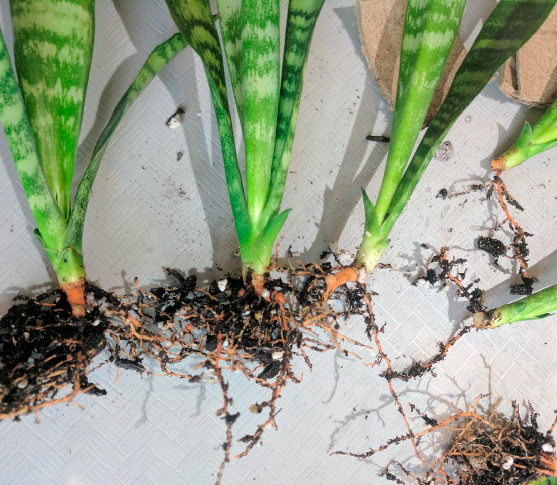 Сансевиерия цилиндрика (цилиндрическая): уход в домашних условиях, фото