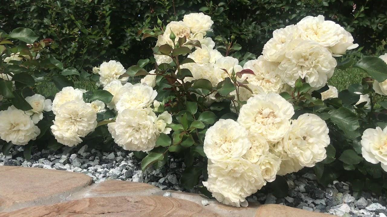 Роза вендетта