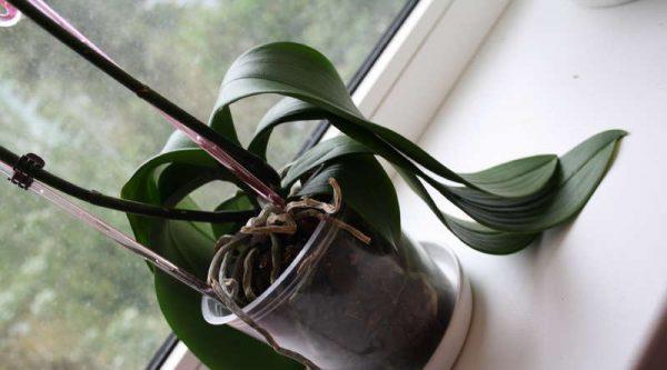 Как реанимировать орхидею{q} 26 фото Как спасти цветок с вялыми листьями в домашних условиях{q} Реанимация орхидеи без точки роста