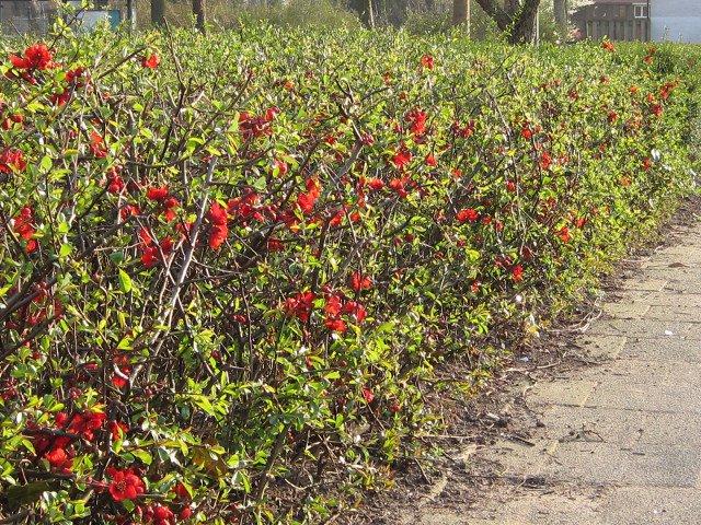 Виды и сорта айвы: обыкновенная, продолговатая, садовая, декоративная, грушевидная, китайская и японская айва