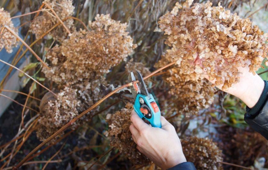 Как ухаживать за гортензией на даче: условия для выращивания и размножения
