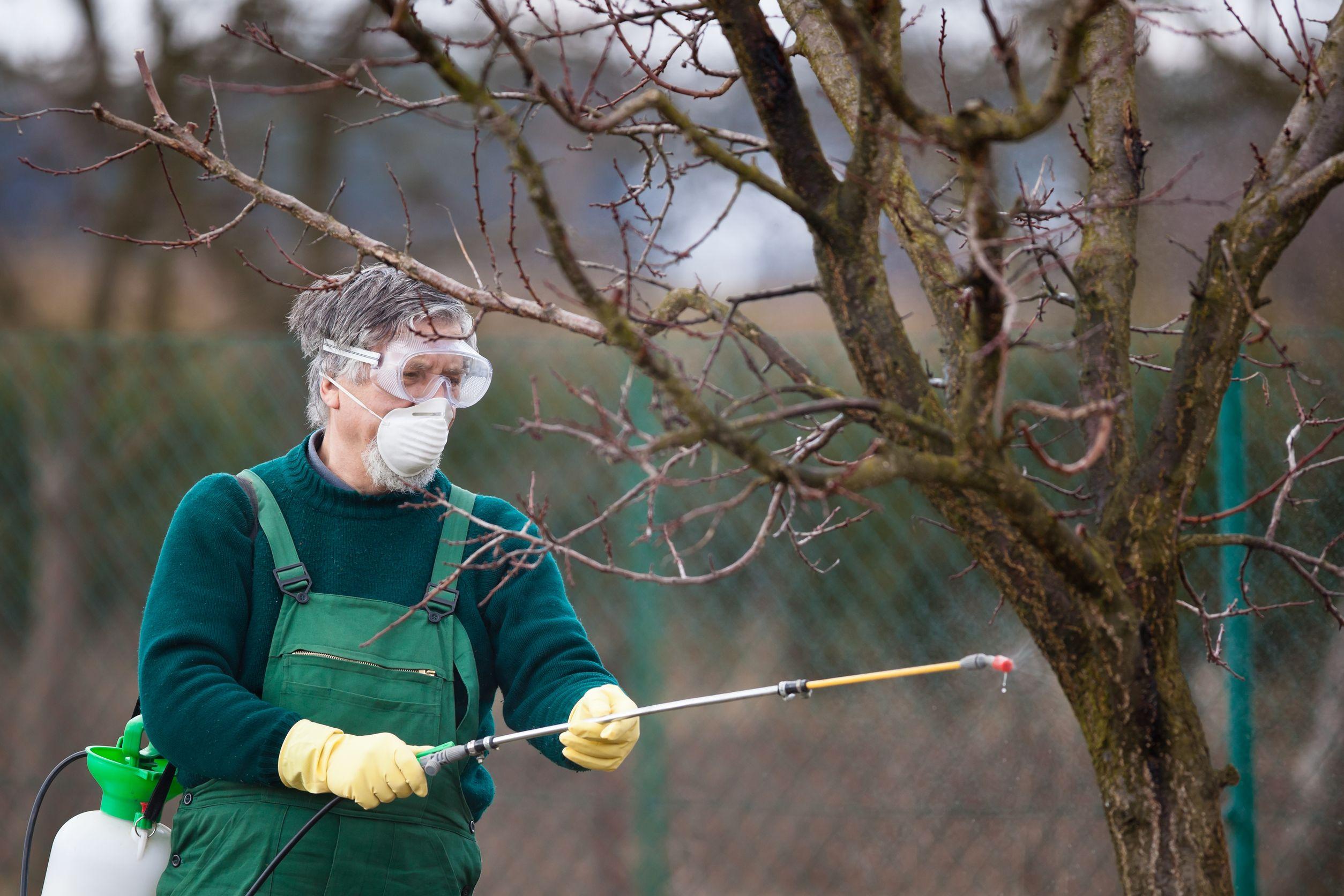 Побелка деревьев весной — обработка плодовых деревьев от вредителей