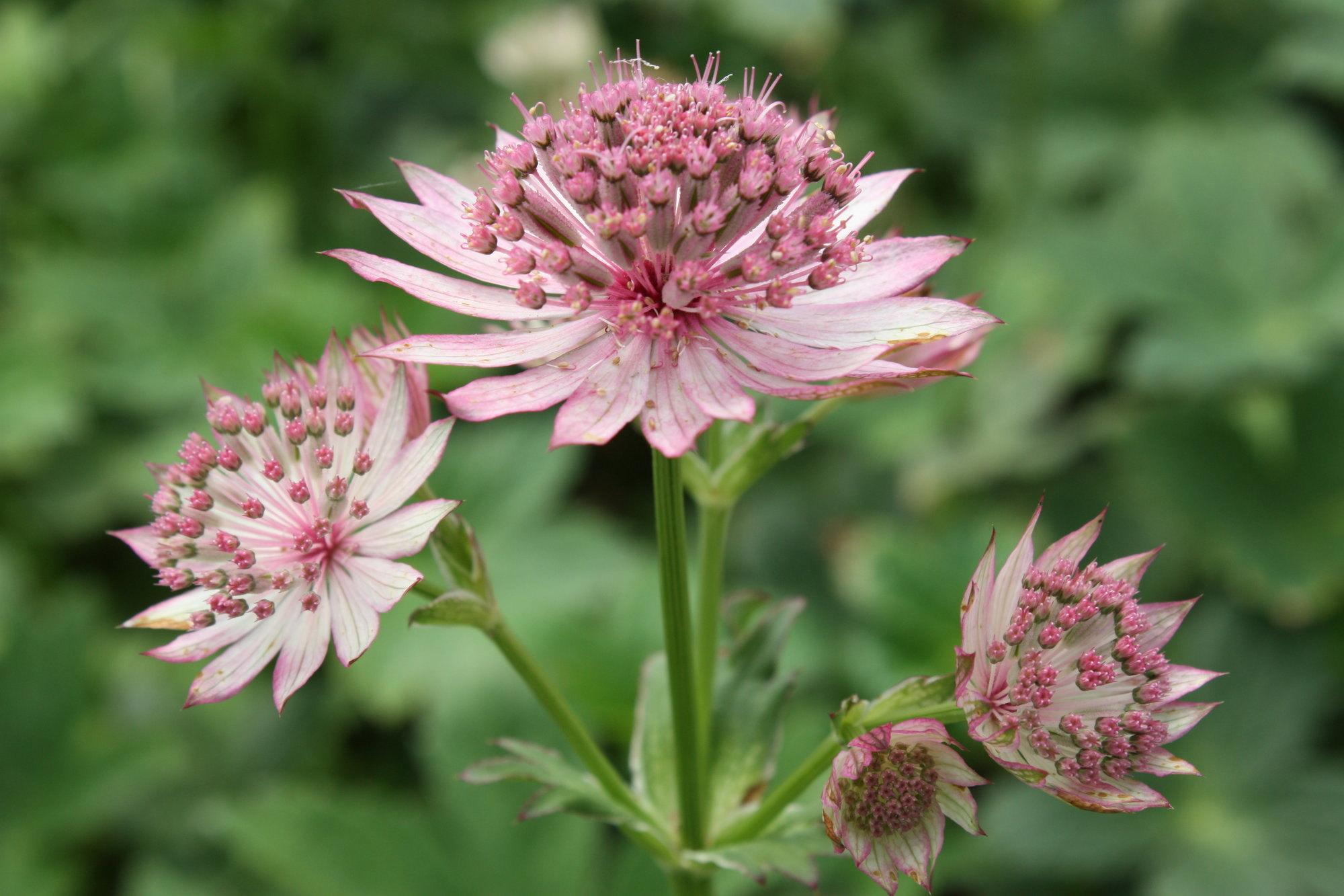 Астранция выращивание из семян, сорта с описанием и фото
