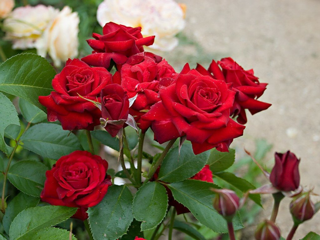 Роза флорибунда 48 фото что это такое Описание сортов Леонардо да Винчи и Августа Луиза характеристика роз Кимоно Никколо Паганини и других