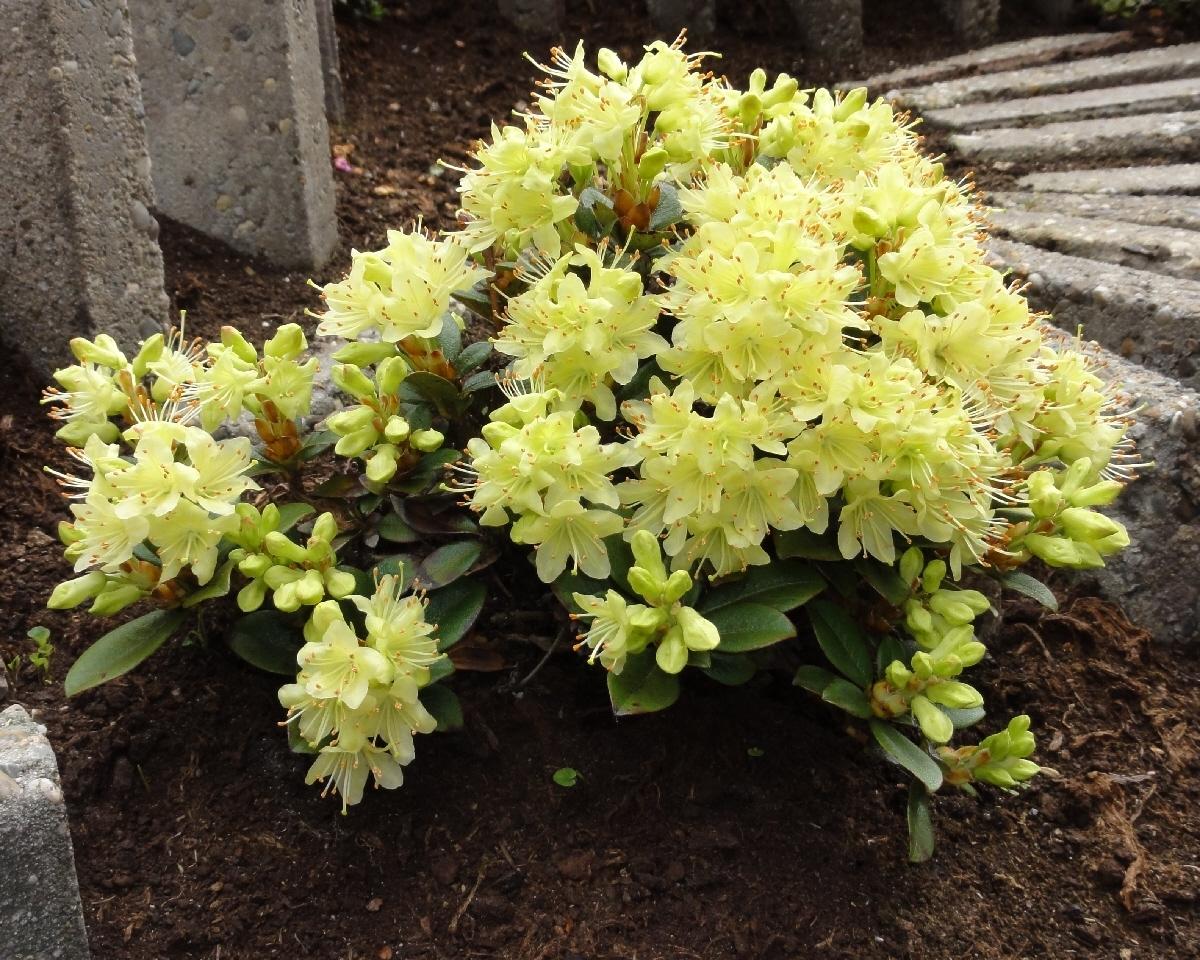 Рододендрон японский (листопадный) (Rhododendron japonicum)