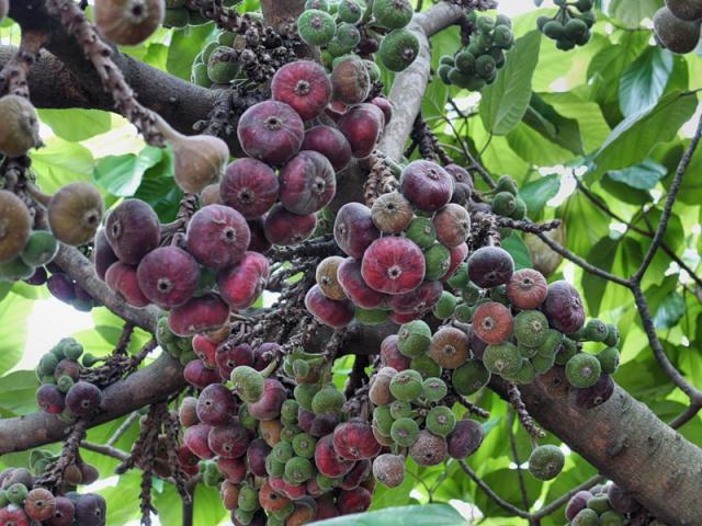 Как называется плод инжира