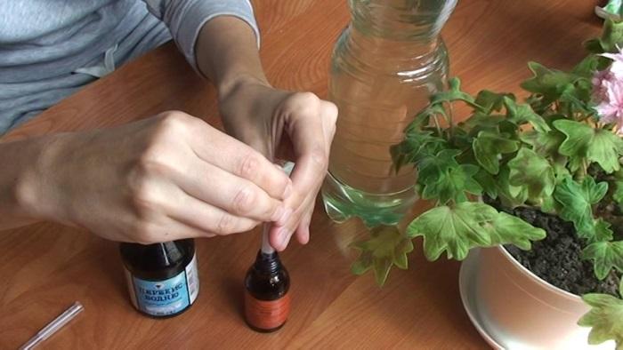 Как заставить цвести пеларгонию