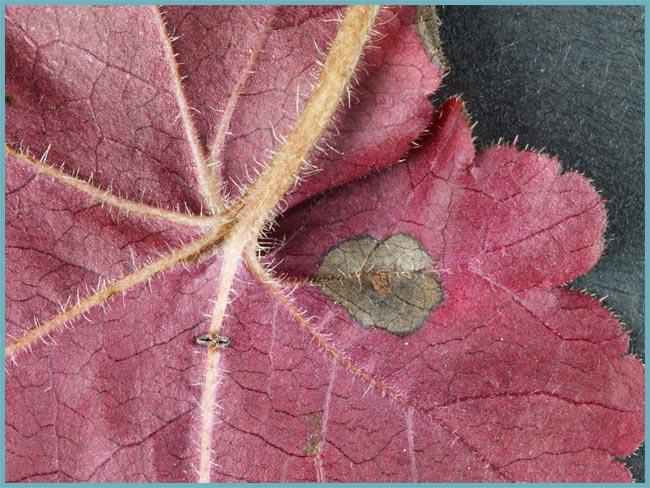 Гейхера посадка и уход в открытом грунте Сорта и виды гейхер фото с названиями