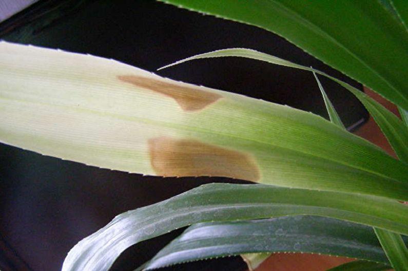 Комнатные пальмы панданус