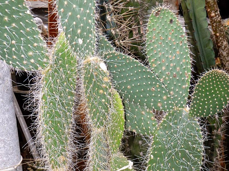 Плоский кактус название