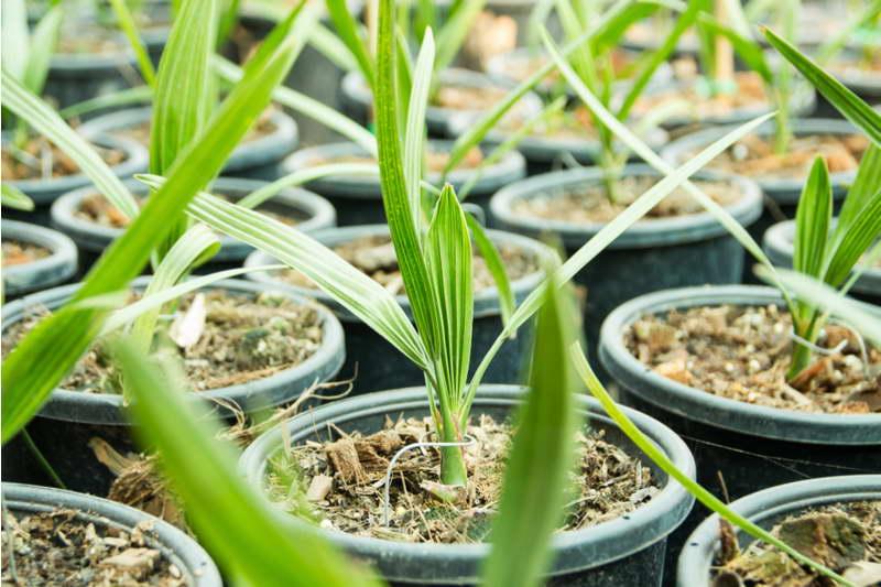 Как растет финиковая пальма из косточки