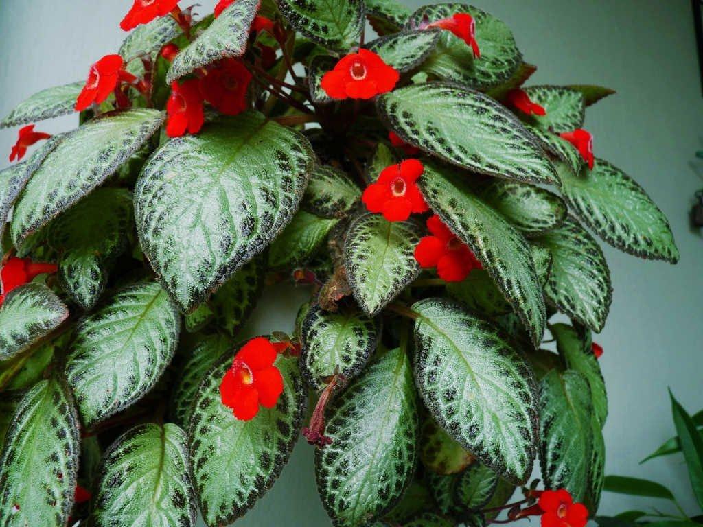 Как называется комнатный цветок с красными цветами