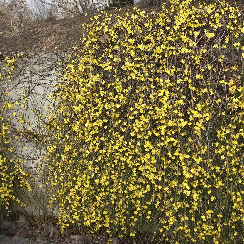 Жасмин с желтыми листьями