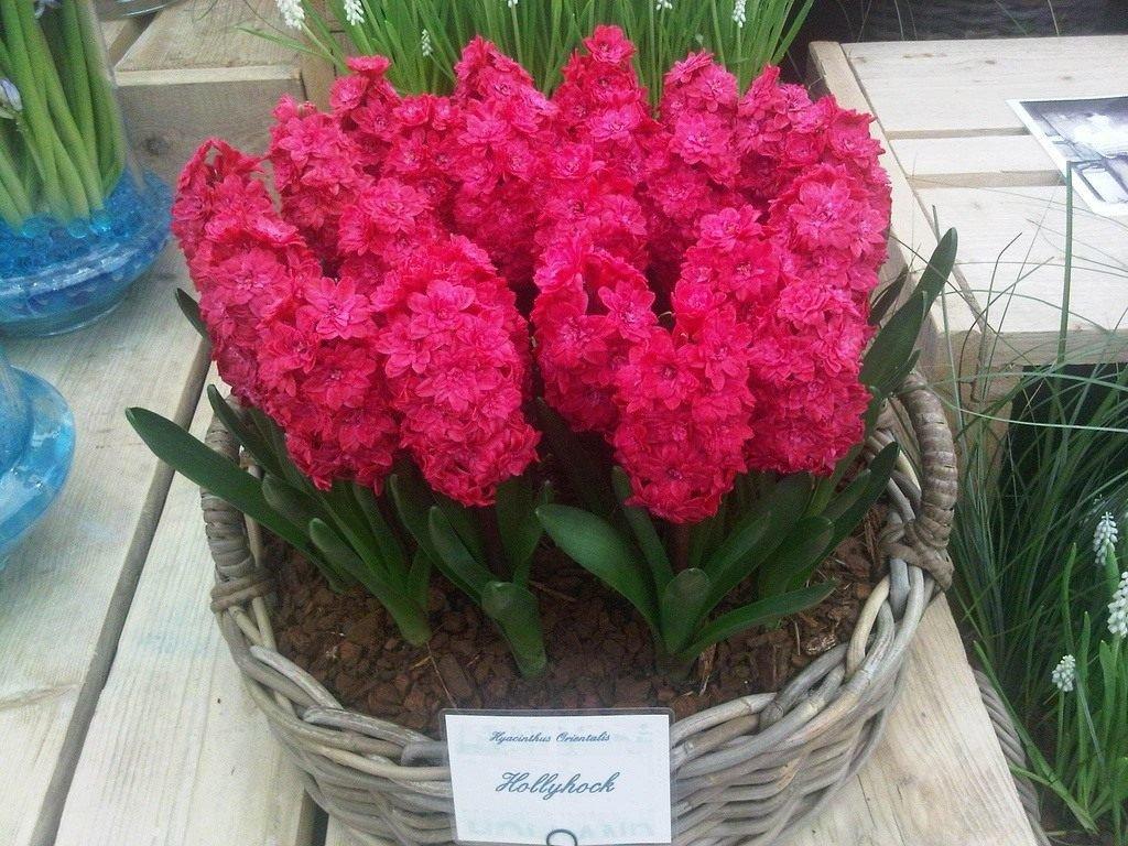 Как выглядит гиацинт цветок