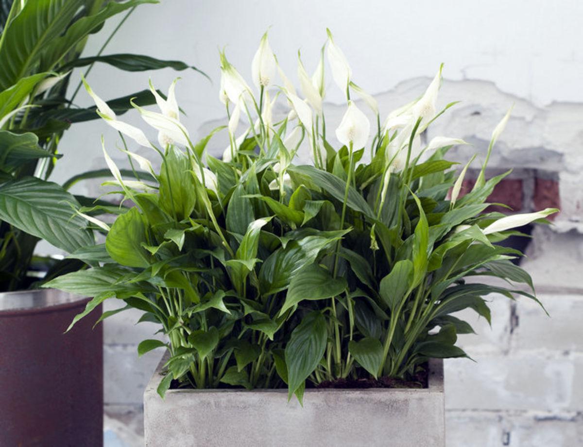 Спатифиллум с большими листьями сорт