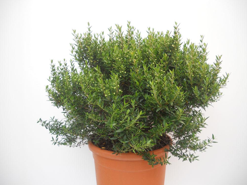 Мирт комнатное растение размножение