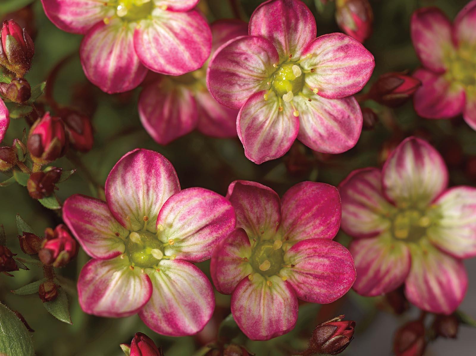 Посадка и уход за камнеломкой Арендса, как вырастить цветочный ковер из семян